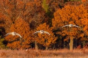 Whooping Cranes Necedah-Linwood 10-24-15-24