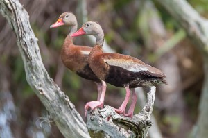 Black-bellied Whistling Duck Florida 9-30-15-25 (1)