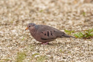 Common Ground Dove Florida 10-1-15-4 (2)
