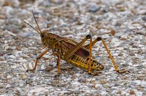 Eatern Lubber Grasshopper Florida 9-30-15-8 (2)
