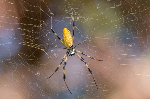 Giant Golden Silk Orb Weaver Florida 10-3-15-27