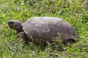 Gopher Tortoise Florida 9-30-15-49