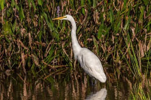 Great Egret Florida 10-3-15-14 (1)