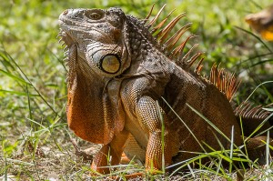 Green Iguana Florida 10-3-15-29 (3)