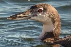 Loon Lake Monona-10