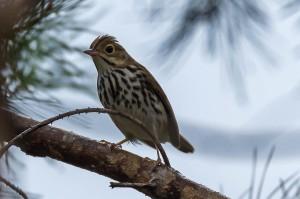Ovenbird Florida 10-2-15-2