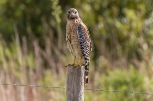 Red-shouldered Hawk Florida 10-2-15-52 (3)