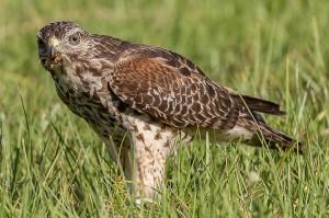 Red-shouldered Hawk Florida 10-2-15-52 (6)