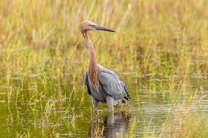 Reddish Egret Florida 10-1-15-39 (1)
