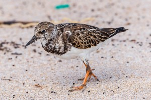 Ruddy Turnstone Florida 10-1-15-27 (4)