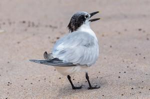 Sandwich Tern Florida 10-1-15-25 (2)