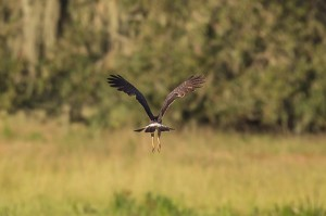 Snail Kite Florida 10-2-15-60