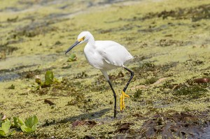 Snowy Egret Florida 9-30-15-41 (1)