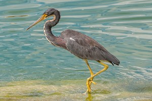 Tri-colored Heron Florida 9-27-15-2 (1)