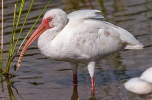 White Ibis Florida 10-3-15-47 (1)
