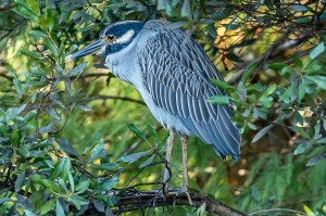 Yellow-crowned Night Heron Florida 10-3-15-2 (3)