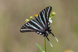 Zebra Swallowtail Florida 9-30-15-13 (5)