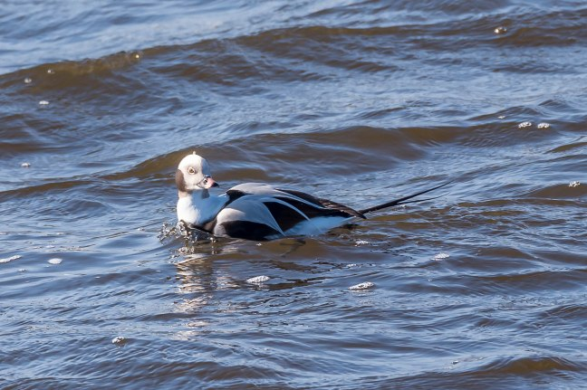 long-tailed Duck-5
