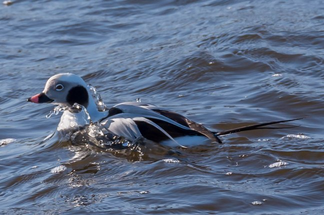 long-tailed Duck-6