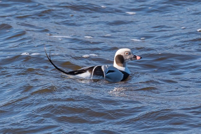 long-tailed Duck-7