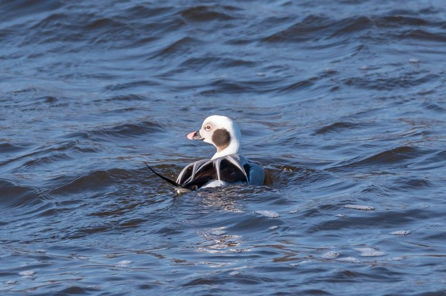 long-tailed Duck-8