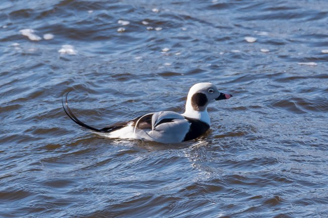 long-tailed Duck-9