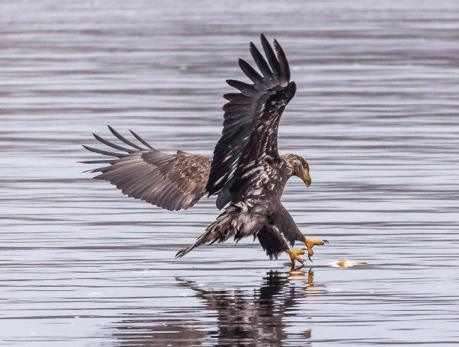 Eagles Petenwell 1-24-16-12