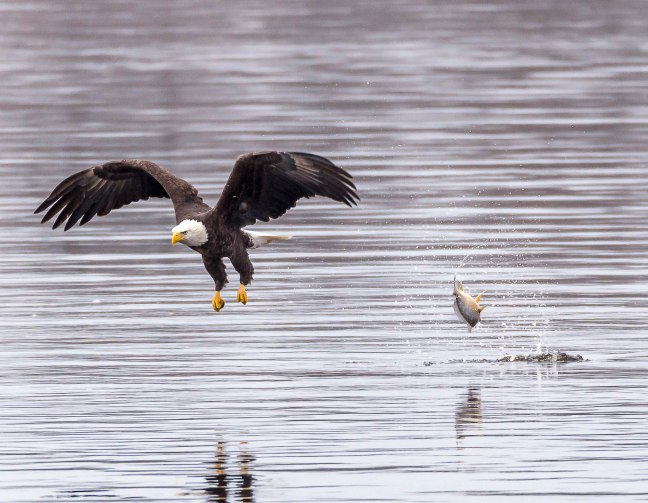 Eagles Petenwell 1-24-16-27