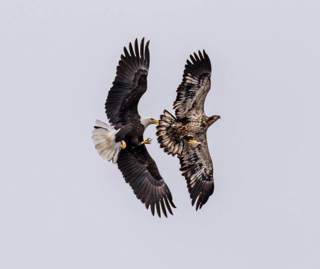 Eagles Petenwell 1-24-16-34