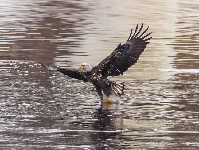 Eagles Petenwell 1-24-16-6