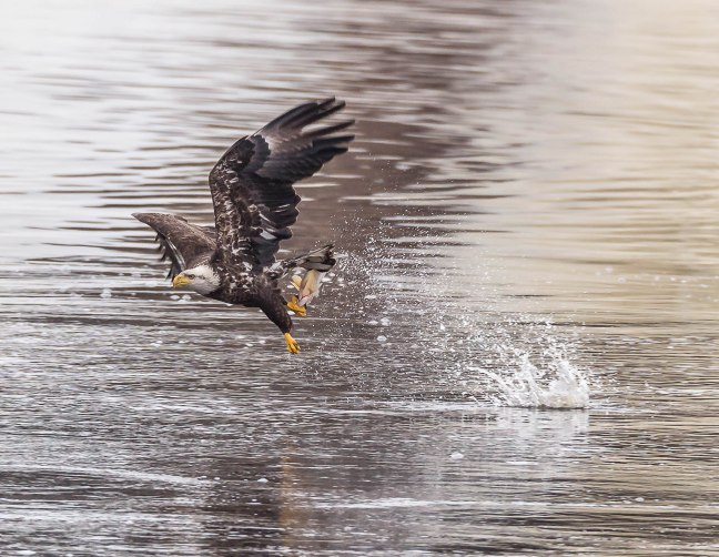 Eagles Petenwell 1-24-16-7