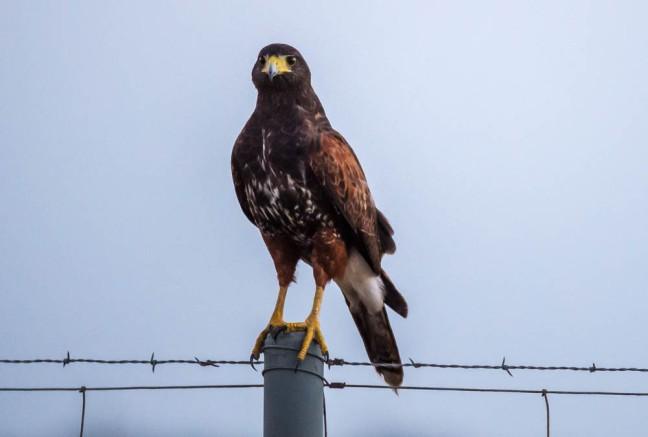 Harris's Hawk-3