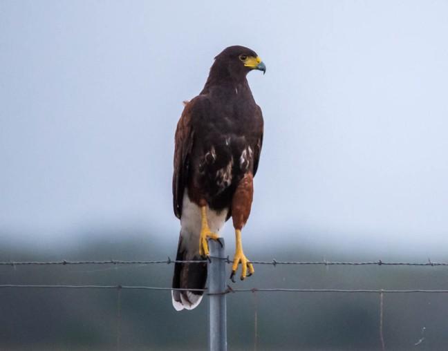 Harris's Hawk-4