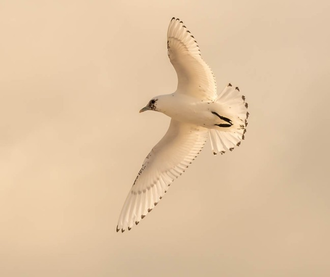 Ivory Gull-Gyrfalcon 1-3-16-11 - Copy