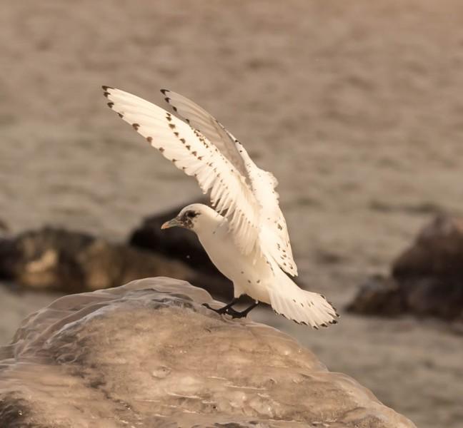 Ivory Gull-Gyrfalcon 1-3-16-12