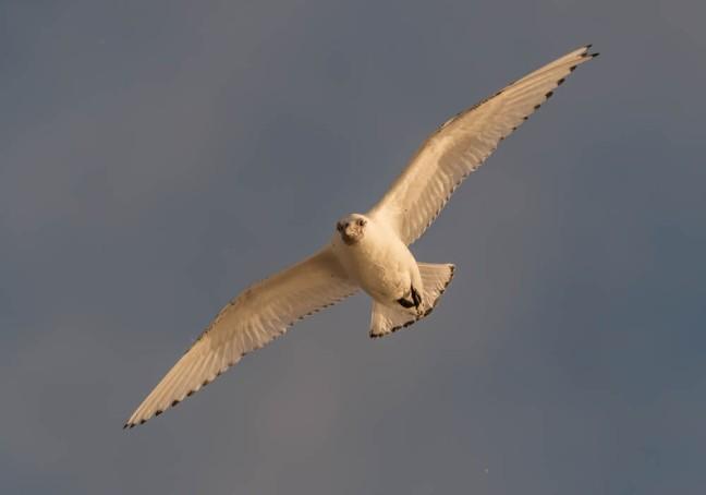 Ivory Gull-Gyrfalcon 1-3-16-14