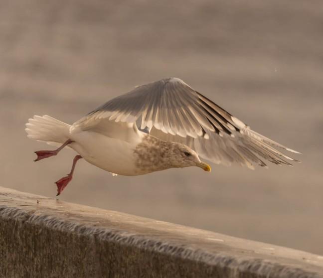 Ivory Gull-Gyrfalcon 1-3-16-15