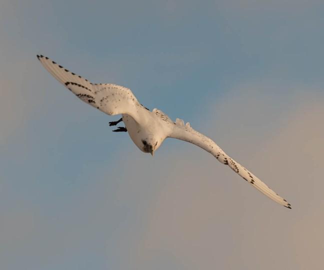 Ivory Gull-Gyrfalcon 1-3-16-18