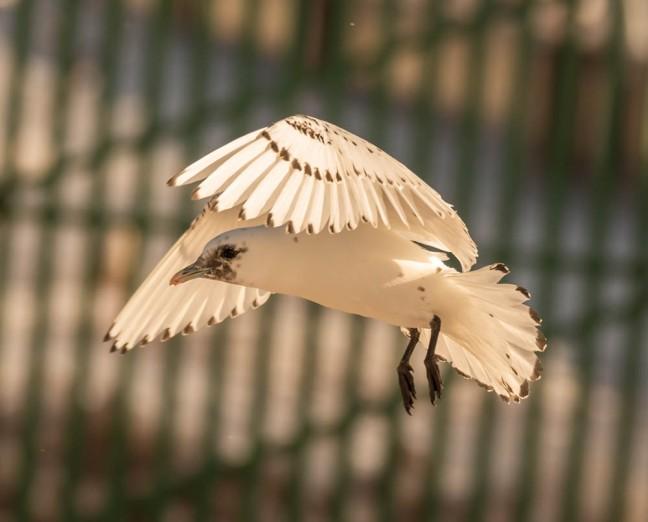 Ivory Gull-Gyrfalcon 1-3-16-25