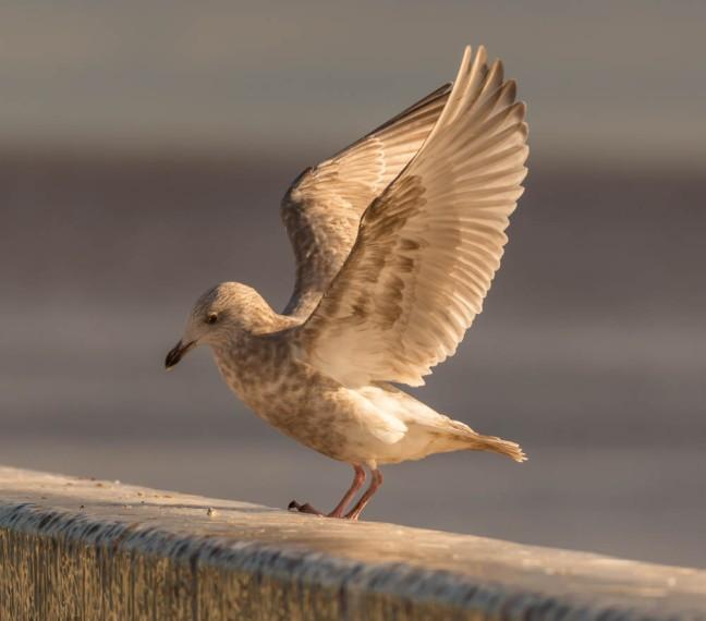 Ivory Gull-Gyrfalcon 1-3-16-28