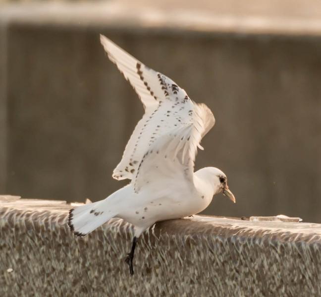 Ivory Gull-Gyrfalcon 1-3-16-3