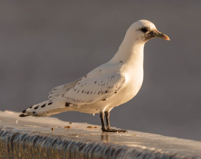 Ivory Gull-Gyrfalcon 1-3-16-30 - Copy