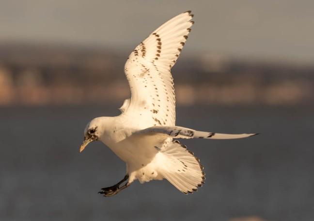 Ivory Gull-Gyrfalcon 1-3-16-36