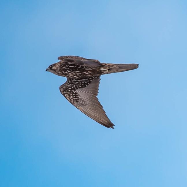 Ivory Gull-Gyrfalcon 1-3-16-40