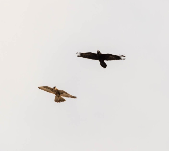 Ivory Gull-Gyrfalcon 1-3-16-45