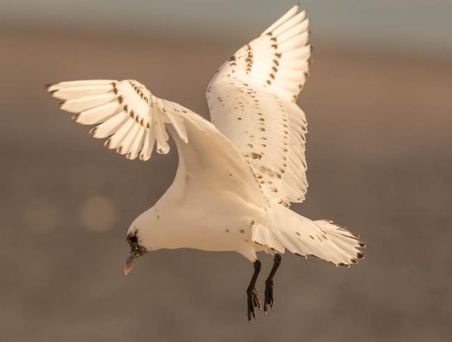 Ivory Gull-Gyrfalcon 1-3-16-7