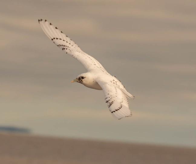Ivory Gull-Gyrfalcon 1-3-16-9