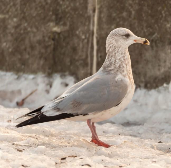 Ivory Gull-Gyrfalcon 1-3-16