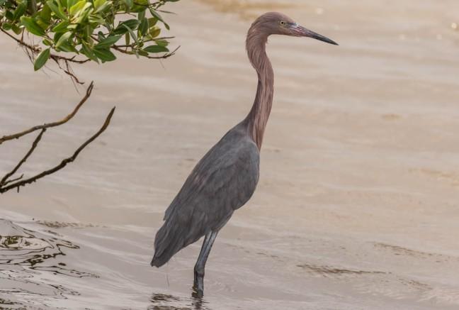 Sabal palm, Laguna Atascosa,South Padre-60