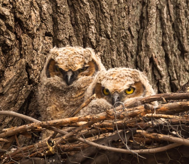 GHOwlets-Lakeshore Preserve